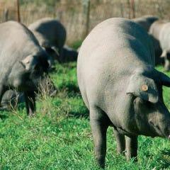 イベリコ豚 ベジョータ
