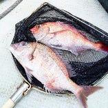 沼島盛漁丸の天然鯛【兵庫県】