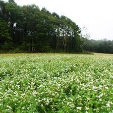 肥えた土壌でのびのび育った蕎麦