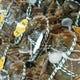 今年も一番の上海蟹を仕入れております!