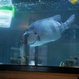 ≪活魚料理≫始めました。大きな水槽には旬の魚が泳いでいます!