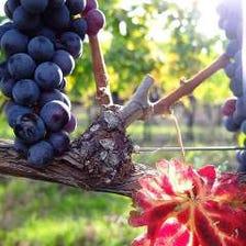 「ウーヴァ」→伊語で「葡萄」の意味。