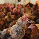 養鶏農家と直結「みやざき地頭鶏(じとっこ)」【宮崎県日南市他】