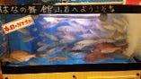 新鮮活魚の水槽