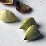 そばの殻をむくと薄緑色のソバの実が入っています