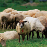 北海道茶路めん羊牧場産仔羊【北海道】