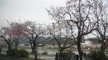 春は桜。大堰川畔の横の桜並木が見頃を迎えます。