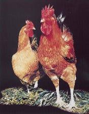 ◇◆希少銘柄鶏・香鶏◆◇