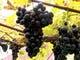 毎年秋には葡萄の収穫やボトリングも 手伝っております。
