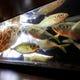 生け簀活魚かわはぎ、真鯛、鯵、石垣鯛、縞鯵、あわび等毎日入荷