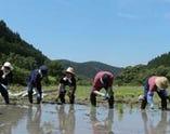 田植えは1本1本丁寧に手で植えていきます。