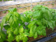 バジル・イタリアンパセリなどハーブ類も多数栽培