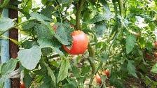 自家農園で栽培した無農薬野菜!