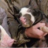 信州黒豚とは