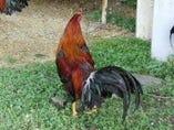 薩摩赤鶏【鹿児島県】