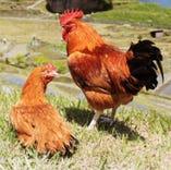 【美味しさと安全性を両立した鶏、それが大山地鶏!】【京都府】