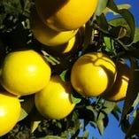 酸味がまろやかで、フルーティー【マイヤーレモン】【三重県】