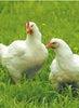 総州古白鶏(そうしゅうこはくどり)