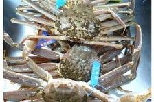 甲殻類は時間との勝負で食味が決まる