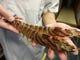 活け天然車海老お刺身塩焼き天ぷら海老フライ等調理致します