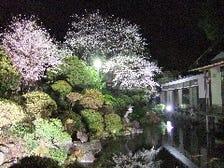 美しい桜のライトアップ