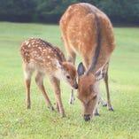 奈良公園から徒歩10分の好立地!写真は奈良公園の鹿の母子。5月~7月頃、小鹿がたくさん誕生します。