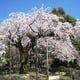 店舗前にはしだれ桜が多数ございます。※写真は過去の撮影