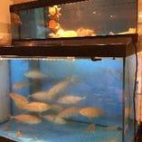 店内水槽で生きている 活け鯵 活き貝たち【神奈川県 佐島 北海道 小樽 青森県 八戸】