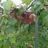 広大な敷地で育つブドウ