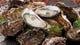 これからは牡蠣の季節です。 新鮮なものを厳選しています。