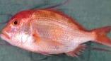 大阪産・レンコ鯛