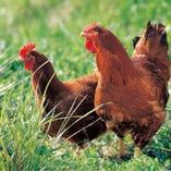 朝引き!旨味の強い宮崎赤鶏!【宮崎県】