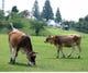 放牧場にはかわいいジャージー牛達!