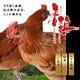 銘柄鶏【香鶏】を使用の鶏料理が絶品。 鶏の旨味・甘味が濃厚。