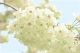 黄桜(4月上旬~)