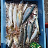 4月21日の釣果♪アジ、サバが大漁です!