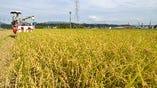 モクモク特別栽培米ごーひちご  モクモク手づくりファームのある伊賀盆地は古琵琶湖層群とよばれ昔は湖の底にありました。重粘土質で寒暖差の大きい伊賀の里は米づくりにとても適した土地といわれています。そんな米どころ伊賀の田んぼで育てるごーひちごは冷めても甘みがおいしく、もっちりとした粘りが自慢のお米です。