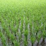 お米は、我が家の自家製のお米使用。秋にはたくさん実ります。