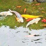 当店の大池には、錦鯉が優雅に泳ぎます。