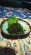 久米島より直送の生っ!海ぶどう680円
