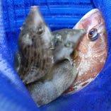 九州近海で獲れる魚介類【福岡県・佐賀県など九州近海】