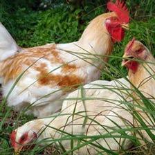 コクのある旨味 播州百日鶏
