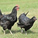 山口ブランド地鶏「黒かしわ」【山口県】
