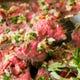 国産牛モモ肉のタリアータ風ローストビーフ 白バルサミコソース