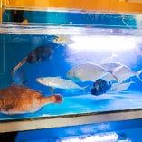 【生け簀で泳ぐ魚】 いきの良い活魚をお楽しみください