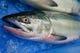 鮮度管理には定評ある標津の鮭。当店はオスのAランクのみを使用