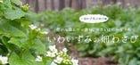 岩泉町のきれいな水と清々しい空気の中で育つ畑わさび【岩手県下閉伊郡岩泉町】