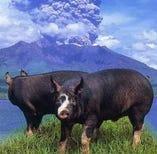 鹿児島産黒豚【鹿児島県】
