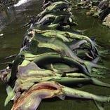 日本一の水揚げ!サメ肉【宮城県】