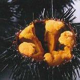 「ウニ牧場」で天然昆布を食べて育ちます